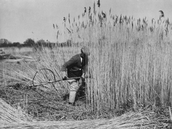 Harvesting Norfolk reed for use in thatching